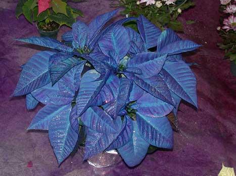 The Poinsettia Plant Memphis Area Master Gardeners